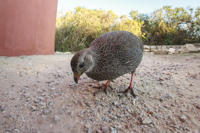 Cape Spurfowl. The Cape spurfowl, or Cape francolin is a gamebird in the pheasant family Phasianidae. This francolin is endemic to the southwestern Cape of South stock photo