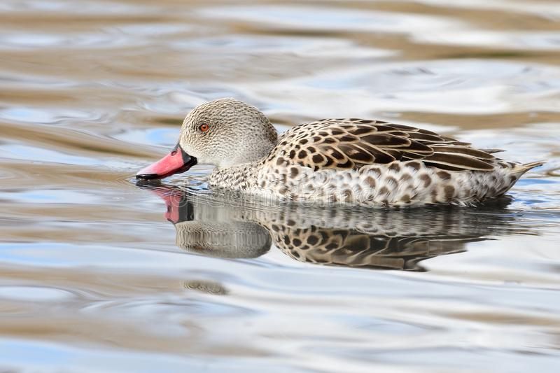 Cape teal Anas capensis. Swimming in the water with a reflection royalty free stock photography