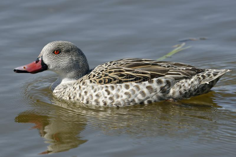 Cape Teal stock photography