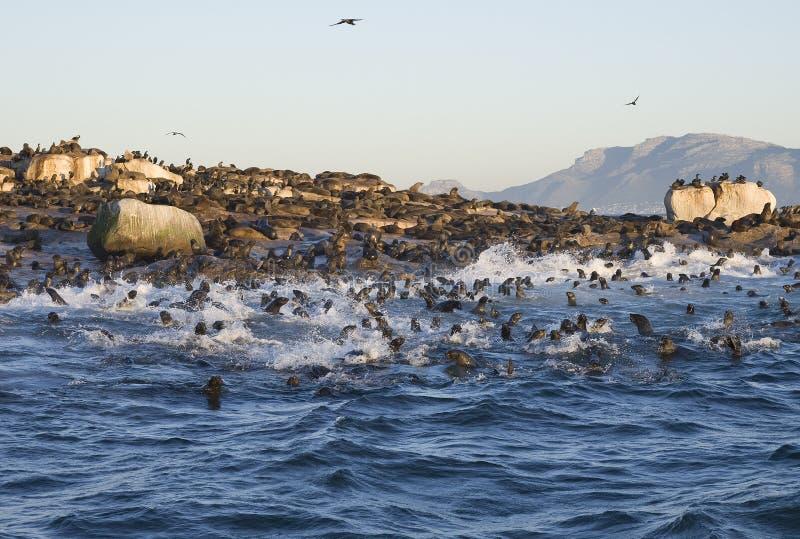 Cape Town, Dichtungen, Bären, die köstlichen Blicke, jeder sollte diese Szene in Ihrem Leben einmal sehen stockfoto