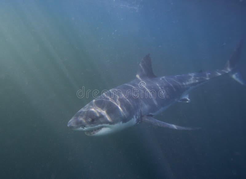 Cape Town, haaien, onderwatermeningen, kijkt groot, zou iedereen deze scène in uw leven eens moeten zien stock afbeelding