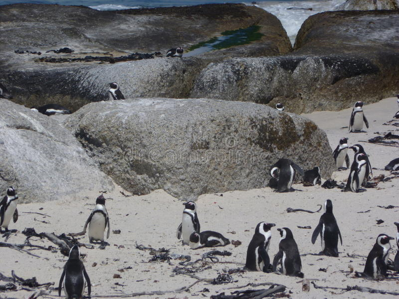 Cape Town penguins royalty free stock photography