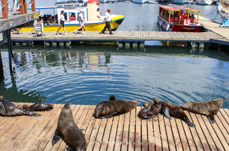 CAPE TOWN, SOUTH AFRICA - DECEMBER 23, 2017: group of Cape fur seal lying on wooden jetty under sun with people on excursion boat royalty free stock photography