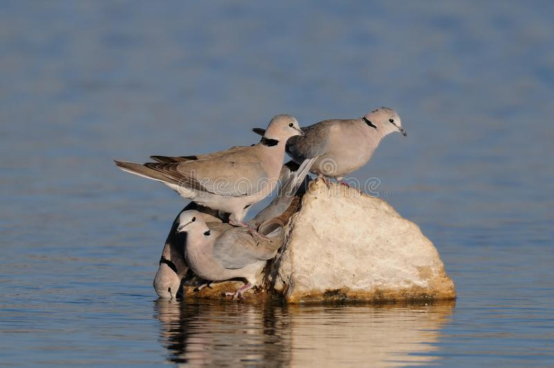 Cape turtle dove group drink on a waterhole, etosha nationalpark, namibia royalty free stock images