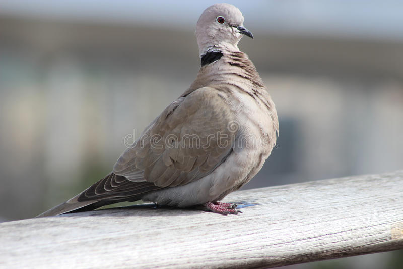 Cape Turtle Dove (Streptopelia capicola) stock photo