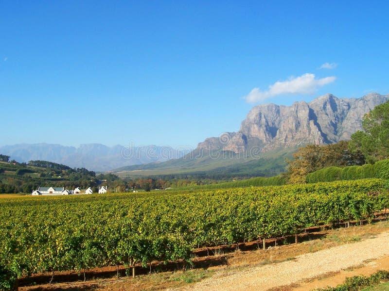 Cape Vineyard Stellenbosch S.Africa. Cape estate with merlot cabernet vineyards at Stellenbosch at the foot of the Franschhoek mountains, capewinelands farm near stock photography
