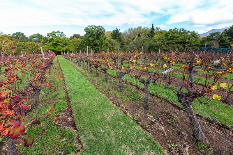 Cape vinyard with pruned grape vines. Neatly tended vinyard in the country with grape vines pruned for spring royalty free stock photos