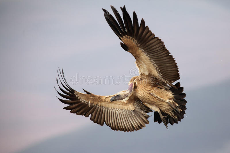 Cape vulture royalty free stock image