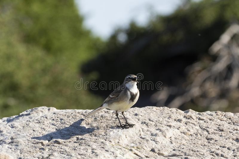 Cape Wagtail of Wells Wagtail, Motacilla capensis, geperst op rock Singing, Stony Point Nature Reserve, Betty's Bay, South royalty-vrije stock afbeeldingen