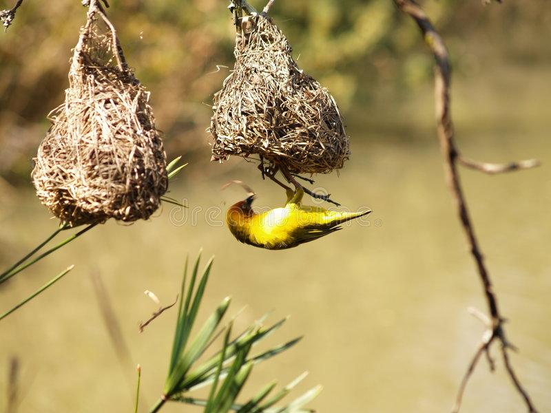 Cape Weaver. I captured this picture at The Walter Sisulu Botanical Gardens outside Krugersdorp,South Africa royalty free stock photos