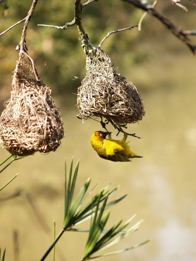 Cape Weaver. I captured this picture at The Walter Sisulu Botanical Gardens outside Krugersdorp,South Africa stock photos