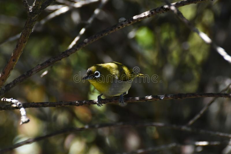 Cape White-Eye Bird Zosterops pallidus Curiously Looking. A small curious cape white-eye bird Zosterops pallidus perched in tree, Plettenberg Bay, South Africa royalty free stock images