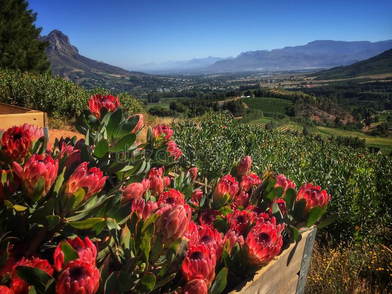 Cape winelands stock images