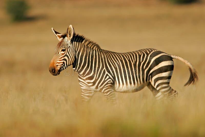 cape zebra mountain zdjęcie royalty free