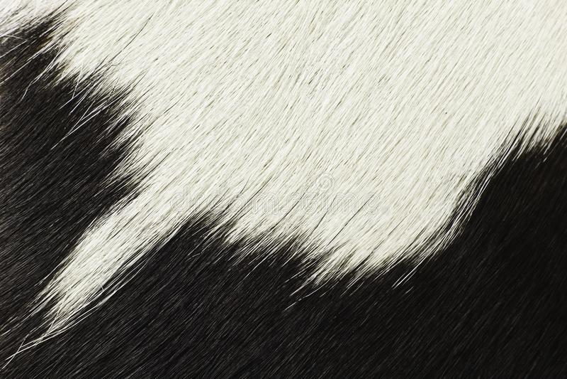 Capelli in bianco e nero della mucca immagine stock libera da diritti