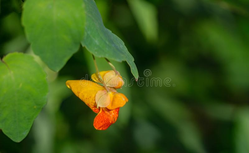 Capensis d'Impatiens d'†repéré de Jewelweed «  photographie stock