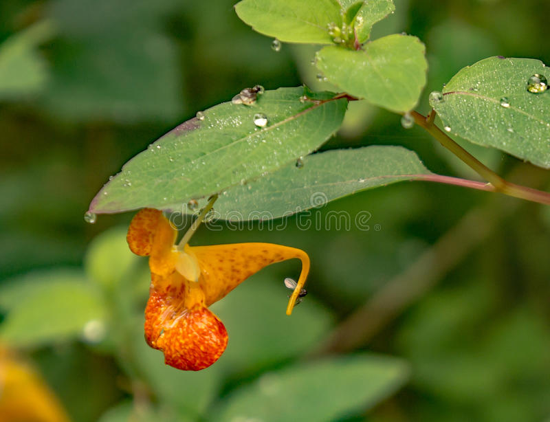 Capensis d'Impatiens d'†orange de Jewelweed «  image stock