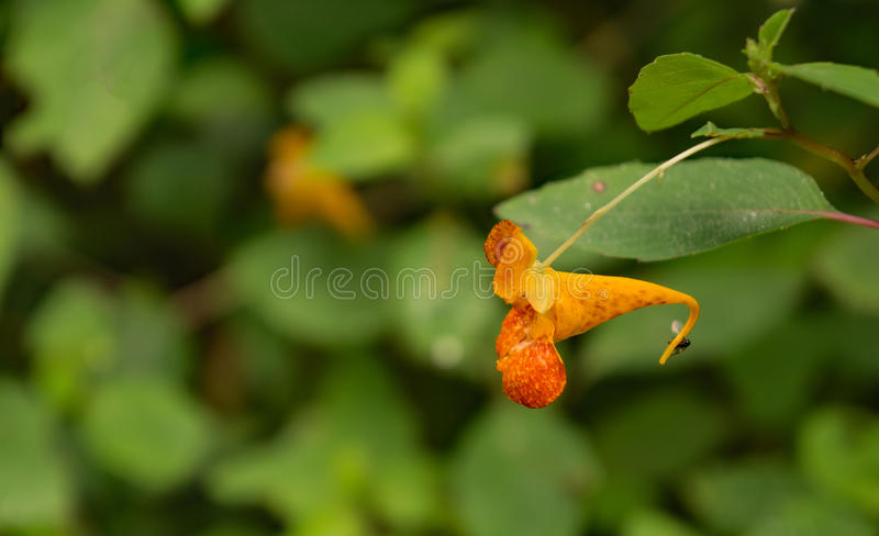 Capensis d'Impatiens d'†orange de Jewelweed «  photographie stock