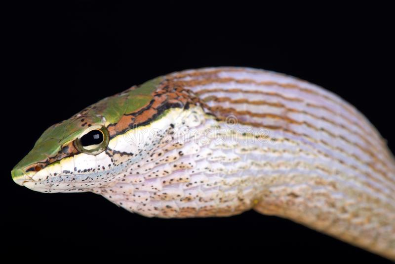 Capensis de Thelotornis de serpent de vigne de la savane photos libres de droits