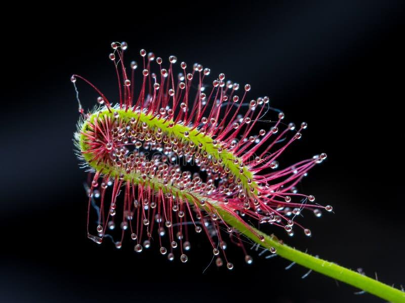 Capensis del Drosera fotografia stock