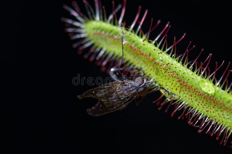 Capensis del Drosera que come una mosca fotografía de archivo libre de regalías