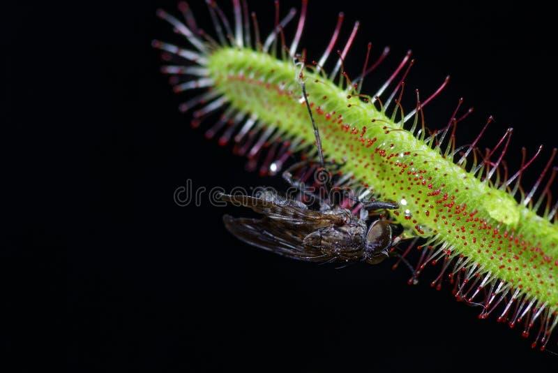 Capensis del Drosera que come una mosca foto de archivo libre de regalías