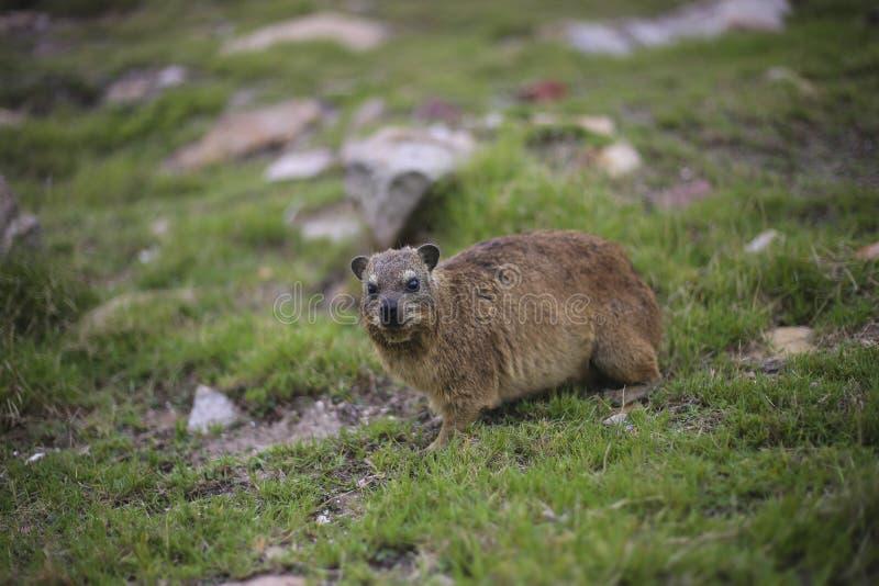Capensis di Procavia del hyrax di roccia immagini stock