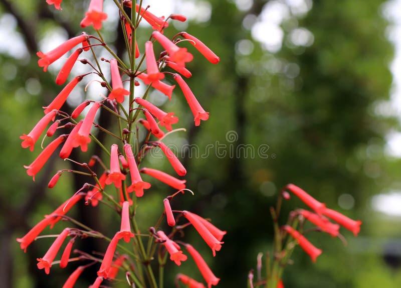 Capensis Phygelius фуксии стоковое фото rf