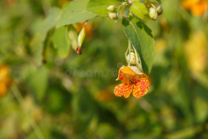 Capensis repéré d'Impatiens de fleur de Jewelweed image stock