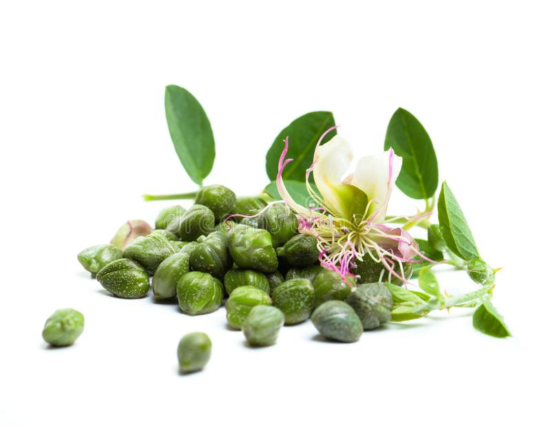 Caper plant, green leaves and flower. Capers on white background.  royalty free stock image