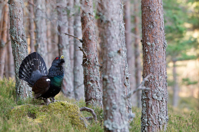 Download Capercaillie Tetrao Urogallus Adult Male Display Stock Photo - Image: 25722404