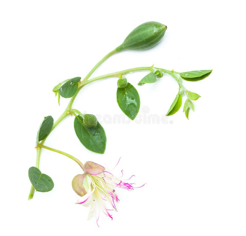Capers flower with green leaves and bud. On white background royalty free stock images