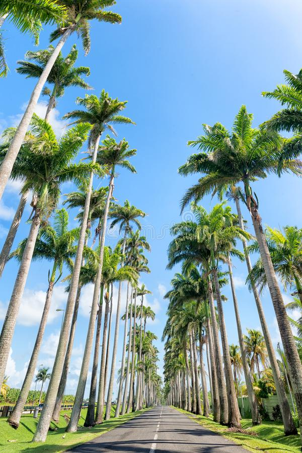 Famous royal palm fringed road, Guadeloupe royalty free stock image