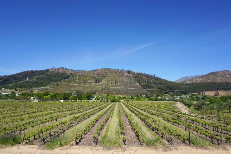 Capetown Wineyard no fundo da montanha fotografia de stock