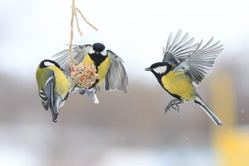 Capezzoli nell'inverno da volare e sedersi sull'alimentatore immagini stock