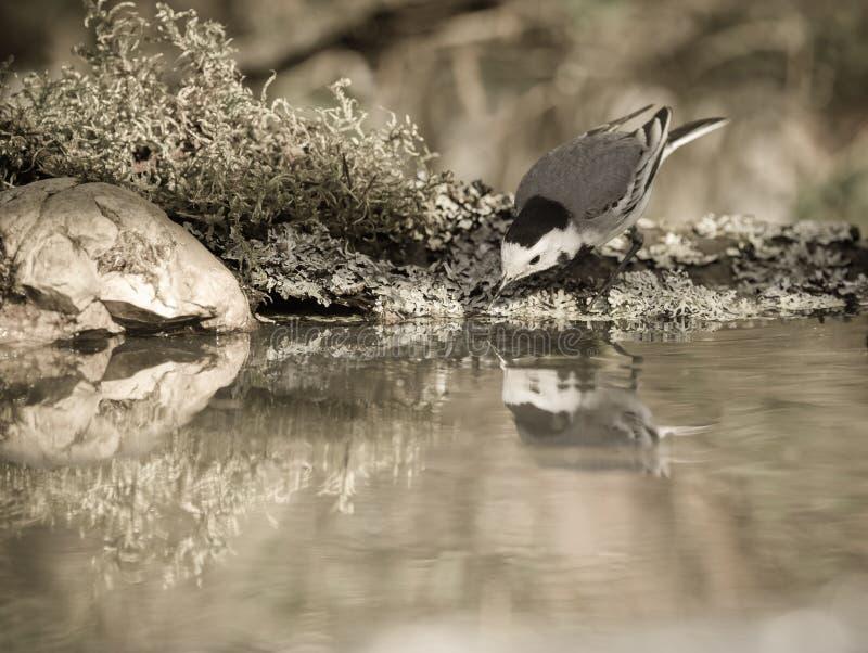 Capezzolo (maggiore del Parus) su sfondo naturale vago defocused selec fotografia stock