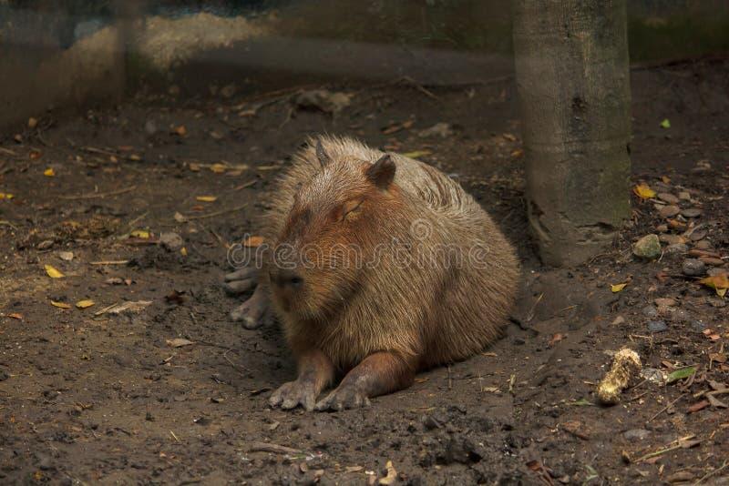 Capibara is in de dierentuin is de grootste rat in de wereld royalty-vrije stock afbeelding