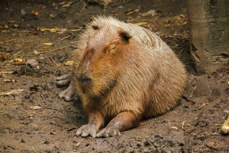 Capibara is in de dierentuin is de grootste rat in de wereld royalty-vrije stock afbeeldingen