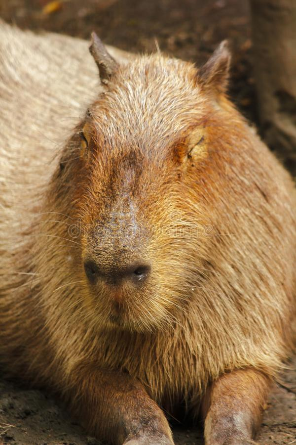 Capibara is in de dierentuin is de grootste rat in de wereld royalty-vrije stock fotografie