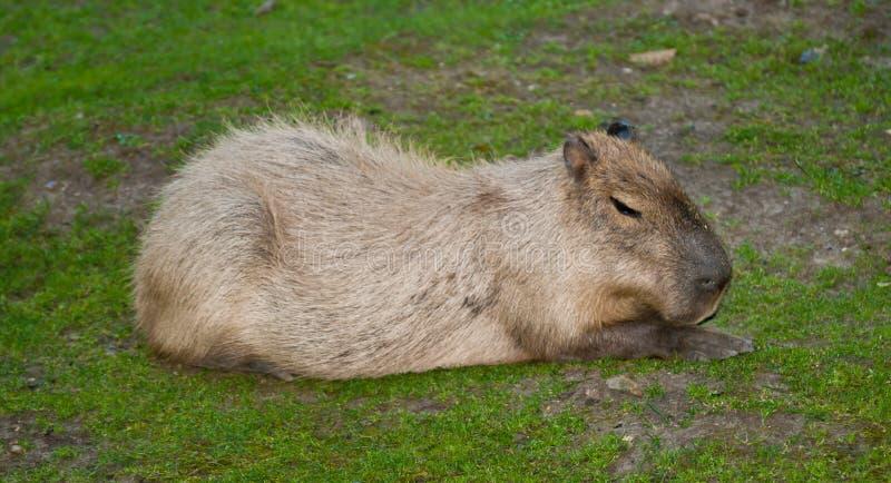 Capibara que se sienta imágenes de archivo libres de regalías