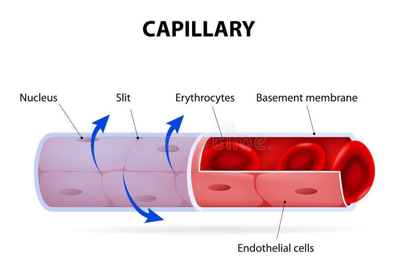 capillaire Vaisseau sanguin étiqueté illustration de vecteur