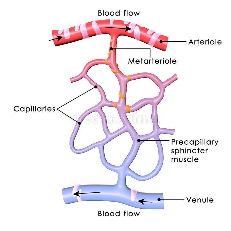 capillaries stock illustrationer