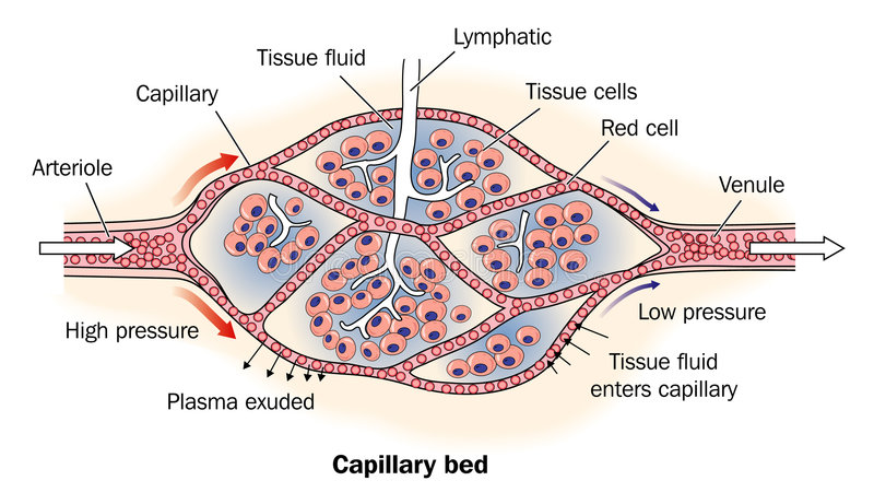 Capillary bed labeled stock illustration