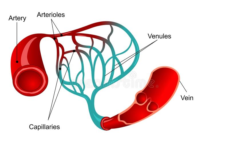 Capillary stock illustration