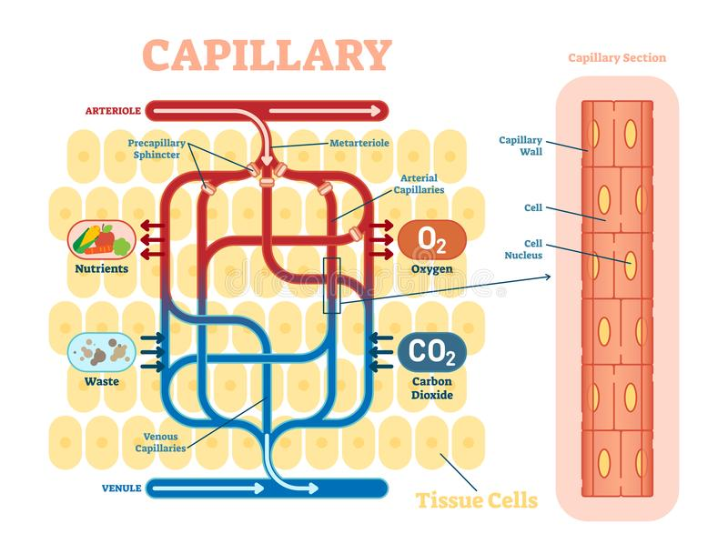Capillary schematic, anatomical vector illustration diagram with blood flow. Educational information poster royalty free illustration