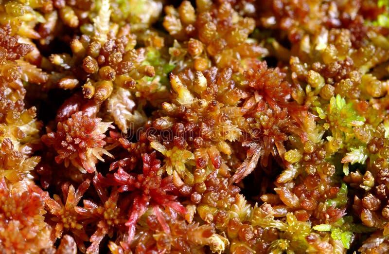 Capillifolium de Sphagnum, musgo de turfa Agudo-com folhas fotografia de stock