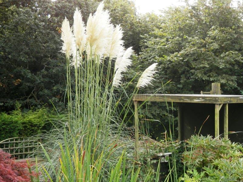 Capim-dos-pampas branco alto no jardim imagens de stock royalty free