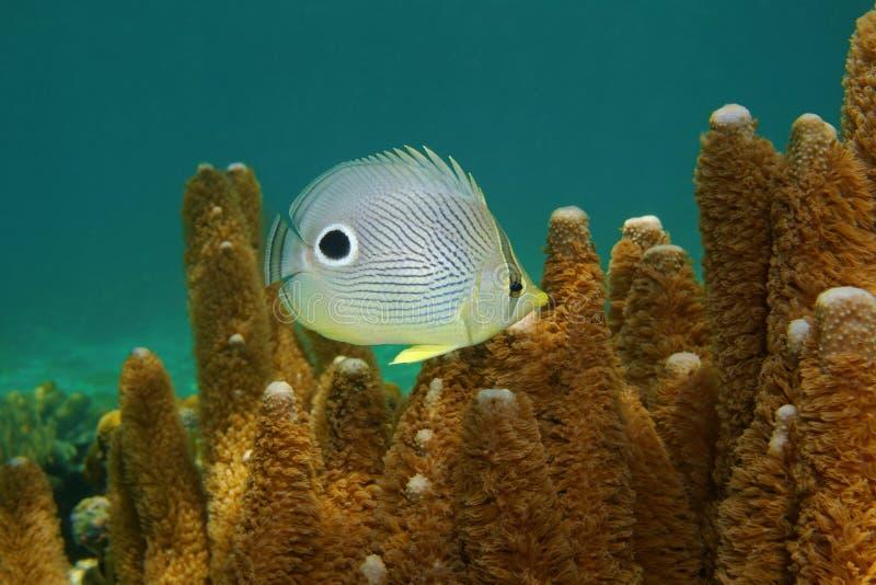 Capistratus de Chaetodon de los butterflyfish del foureye de los pescados imagen de archivo