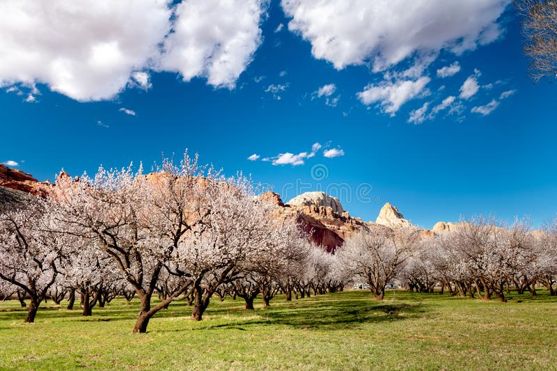 Blue sky and puffy clouds on a warm spring day on an orchard filled with flowering trees stock photos