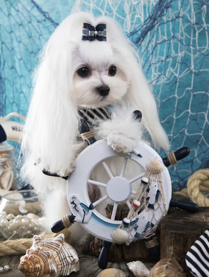 Capitano maltese Dog fotografia stock libera da diritti